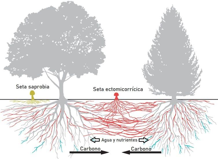 Simbiosis micorrícica entre hongos y árboles del ecosistema forestal.Modificada a partir de Marcel G. A. van der Heijden/P. Huey/Science