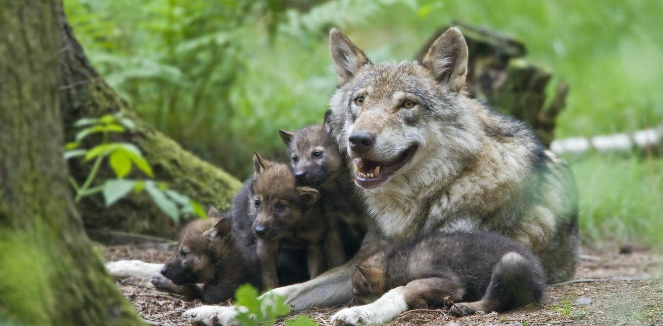 Belgium's first wolf in 100 years is presumed dead – have hopes of coexistence died with her?