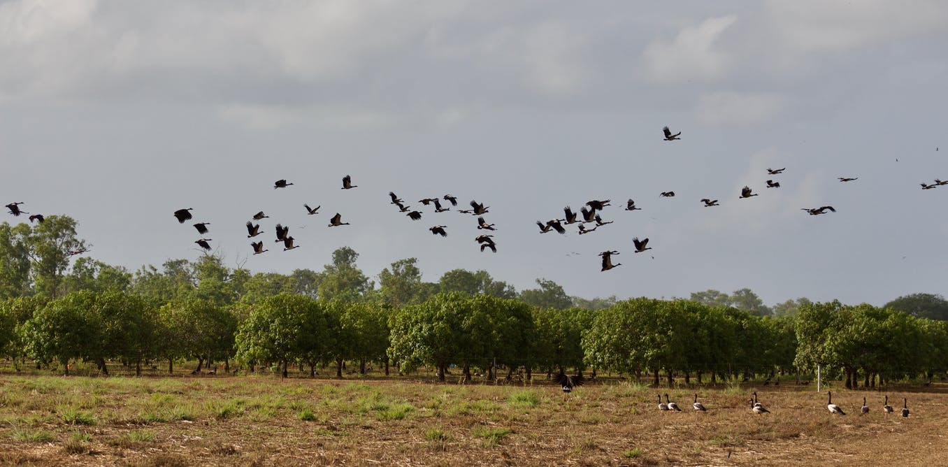 How weather radar can keep tabs on the elusive magpie goose
