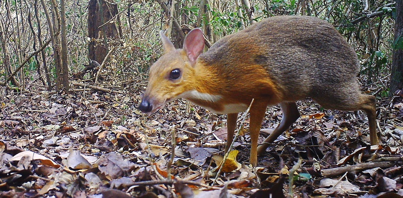 mouse deer - photo #27