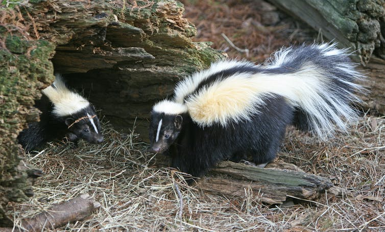 Two striped skunks by a hollowed log.