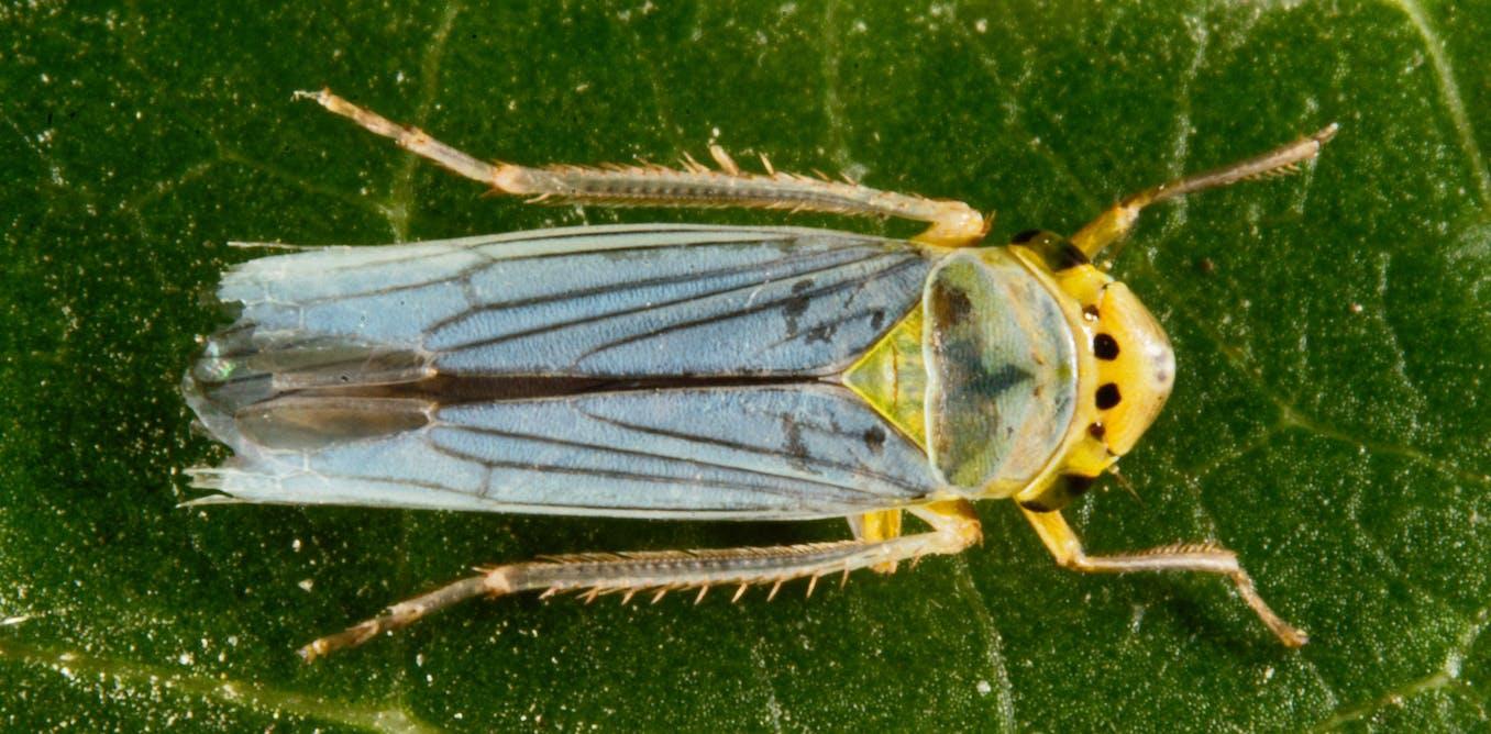 Une redoutable bactérie disséminée par des insectes : Xylella