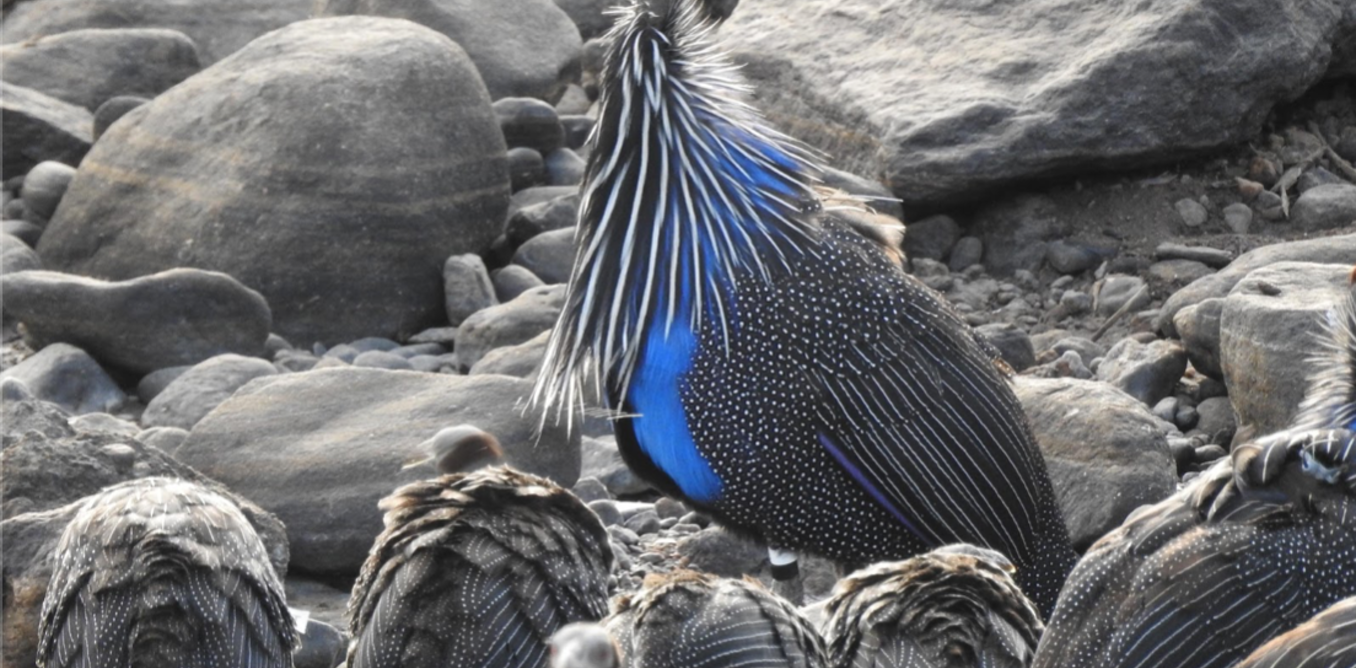 The unusual social habits of East Africa's vulturine guineafowl
