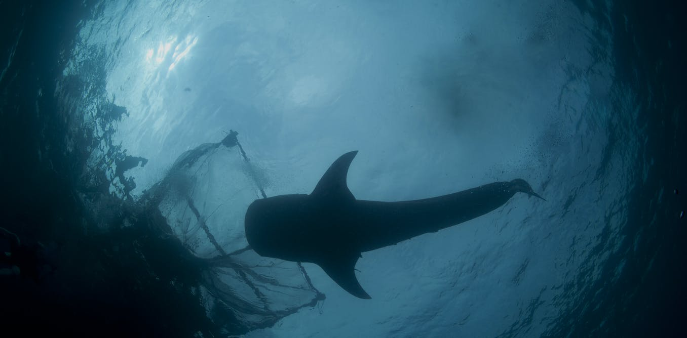 Why it is important to regulate shark fisheries in Indonesia