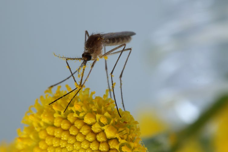 The bizarre and ecologically important hidden lives of mosquitoes-2