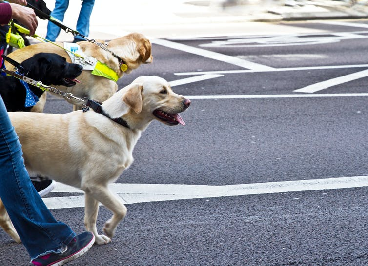 how do guide dogs know where their owners want to go?