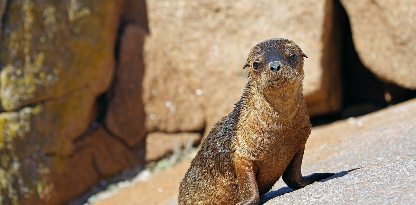 Australian sea lions are declining. Using drones to check their health can help us understand why