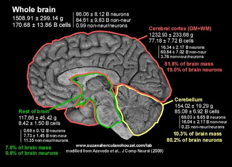 Your big brain makes you human,Your big brain makes you human – count your neurons when you count your blessings,brain,human brain,big brain,human,brain size,does a bigger brain make you smarter?,big brain moments,animal brain vs human brain,brain structure,brain lobes,human brain (anatomical structure),brain surgery,brain science,understanding the human brain,brain power,brain memes,brain games,expanding brain memes,how to unlock your brain capacity,weight of human brain,brain (anatomical structure),humans,techraj6,techraj6.com