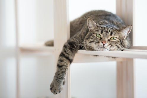 Les chats domestiques sont les ancêtres directs de félins chasseurs. Comment s'assurer qu'ils sont heureux dans nos maisons?