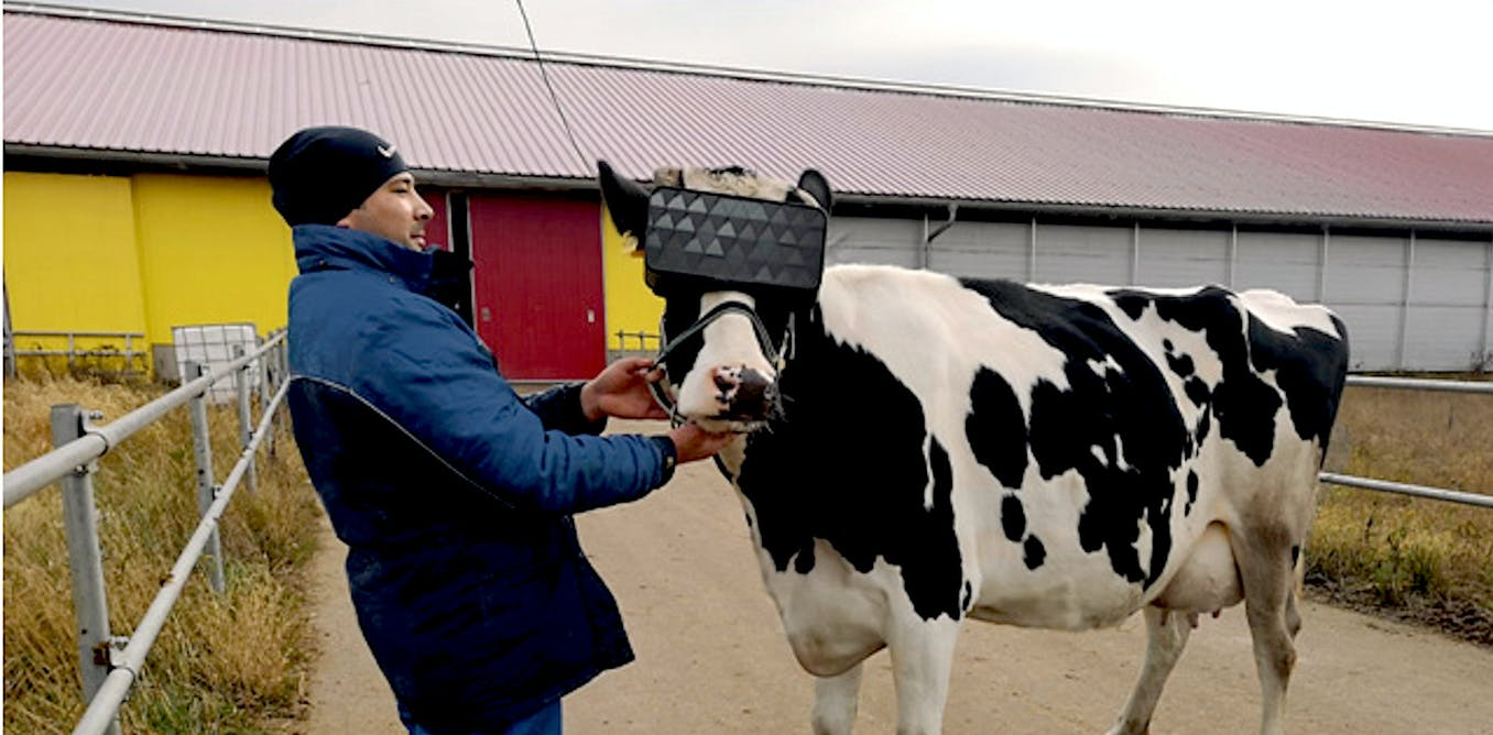 Virtual reality won't make cows happier, but it might help us see them differently
