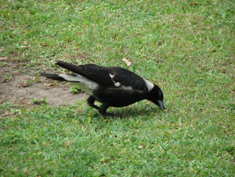 An Australian magpie digging for food on a lawn.