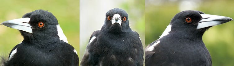 how do magpies detect worms and other food underground?