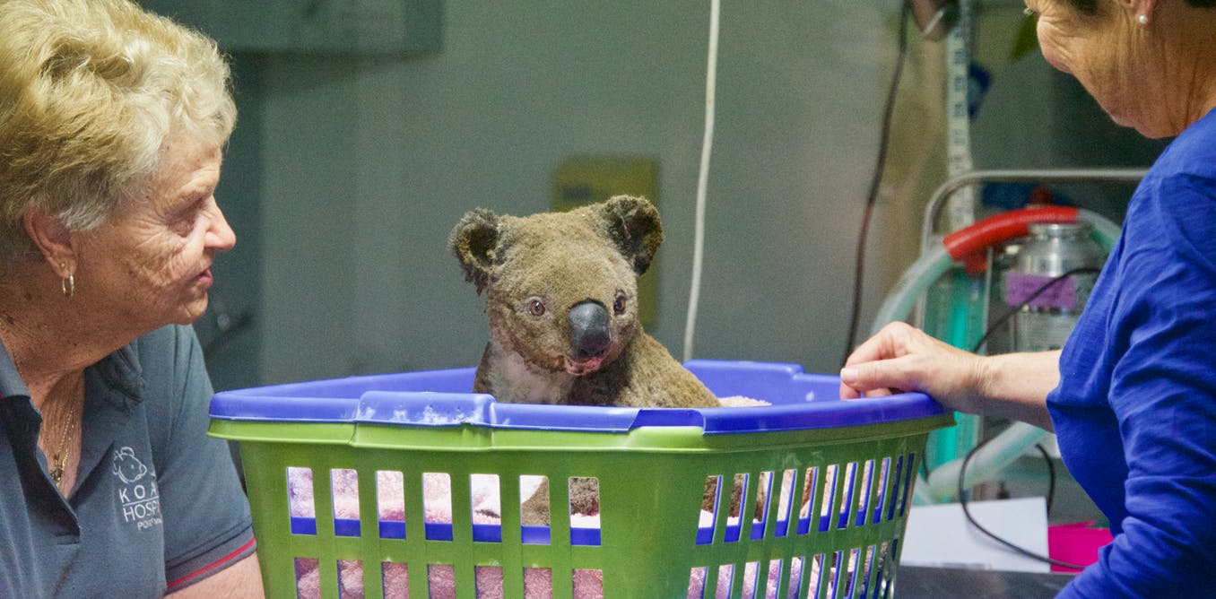 To save koalas from fire, we need to start putting their genetic material on ice
