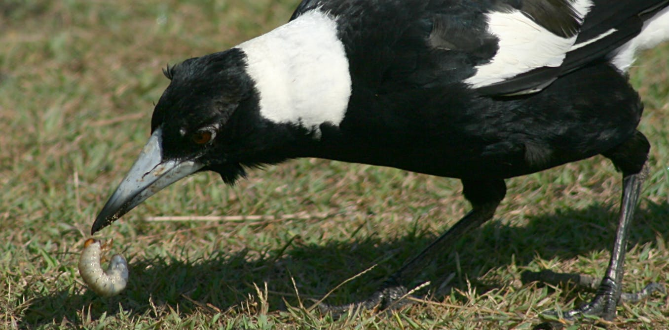 Curious Kids: how do magpies detect worms and other food underground?