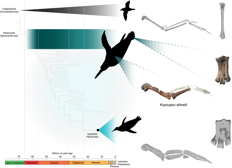 Happy 6ft: ancient penguins were as tall as people. We've discovered the species that started the downsizing trend