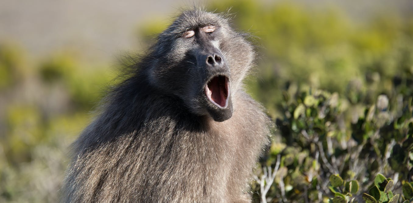 Examining how primates make vowel sounds pushes timeline for speech evolution back by 27 million years