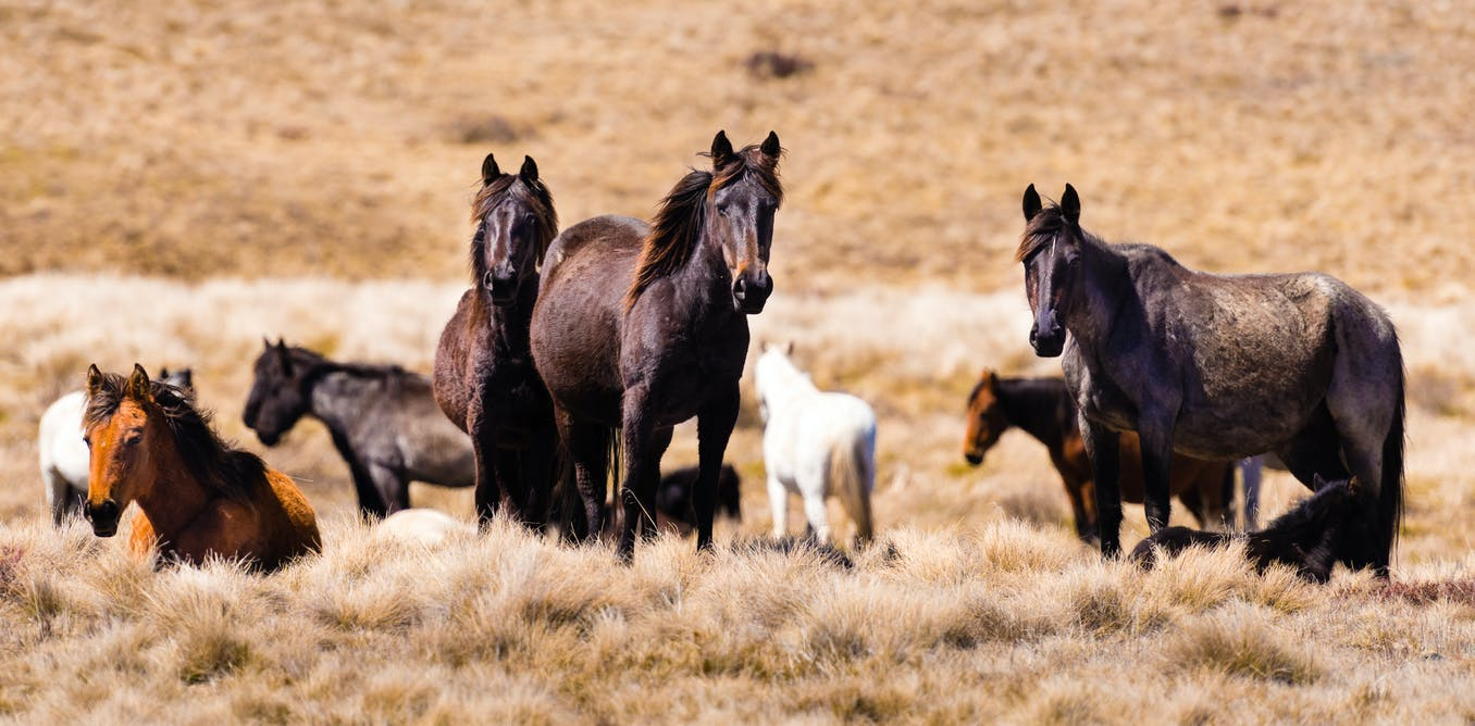 Double trouble as feral horse numbers gallop past 25,000 in the Australian Alps