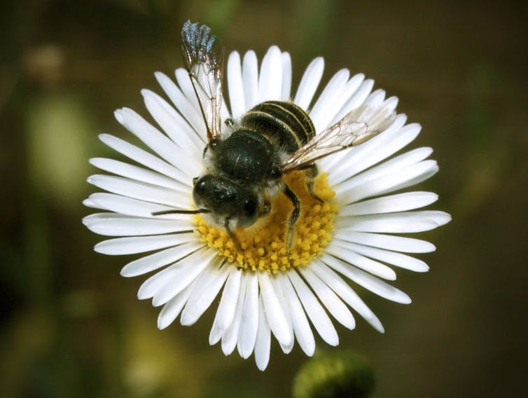 Aussie scientists need your help keeping track of bees (please)