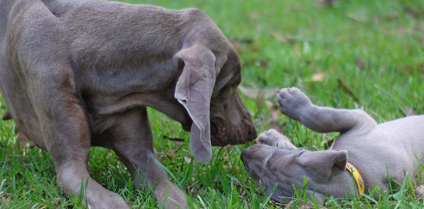 Let it breed: why desexing dogs isn't always the best thing to do