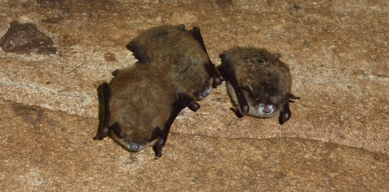 Australia's threatened bats need protection from a silent killer: white-nose syndrome