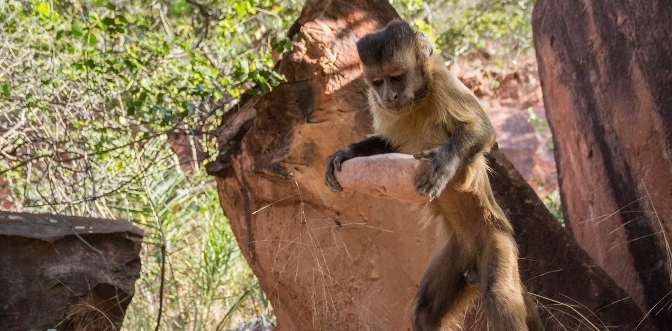 Monkeys smashing nuts with stones hint at how human tool use evolved