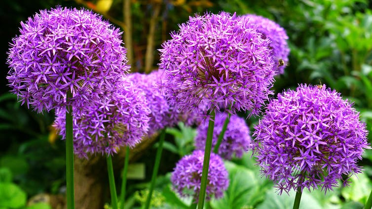 Several purple umbels of ornamental alliums.