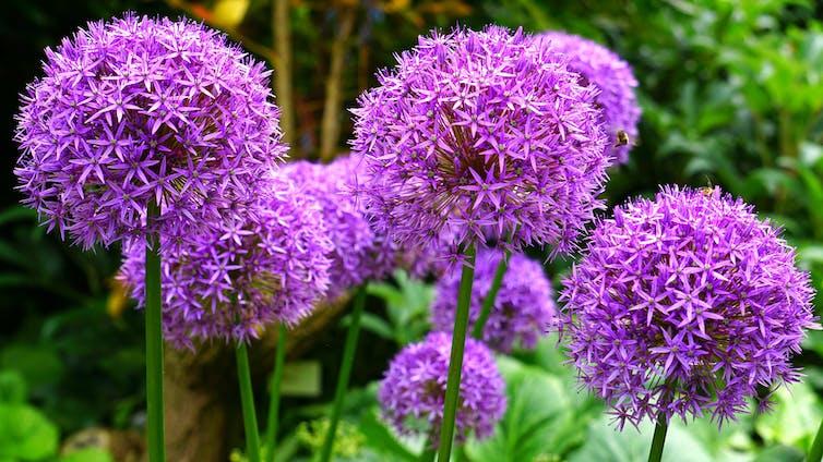 Several purple umbels of ornamental alliums.