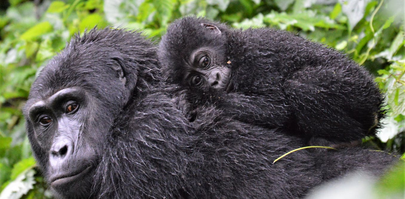 We Don T Know How Many Mountain Gorillas Live In The Wild Here S Why