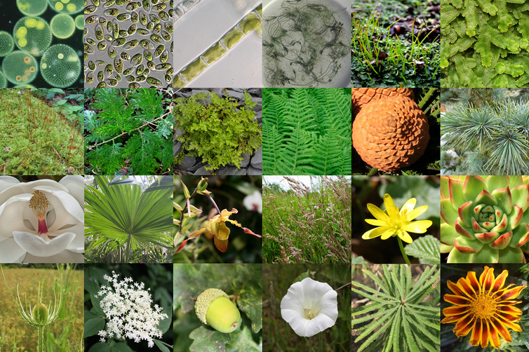 The diversity of land plants and close algal relatives. | Alexander Bowles, Author provided