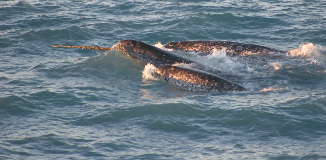 Meet the narwhal, 'unicorn of the sea'