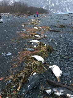 Worst marine heatwave killed one million seabirds in North Pacific-2