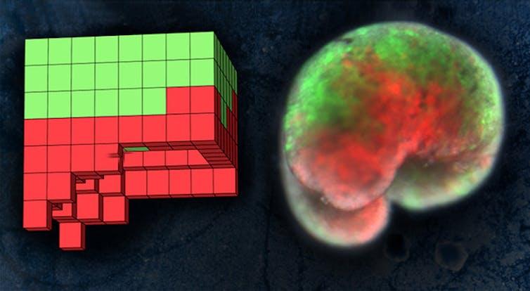 A la izquierda, el plano anatómico de un organismo diseñado por ordenador. A la derecha, el organismo vivo, construido a partir de piel de rana (verde) y células del músculo cardíaco (rojo).Sam Kriegman (UVM),CC BY