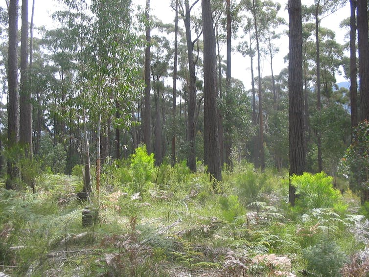 Forest thinning is controversial, but it shouldn't be ruled out for managing bushfires