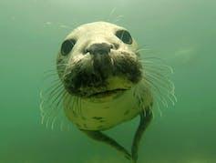 grey seals clap underwater to communicate