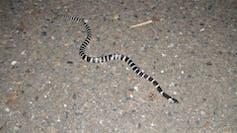 snake coronavirus outbreak origin