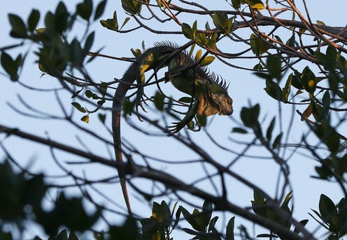 If it's below 40 degrees in South Florida, the forecast calls for falling iguanas
