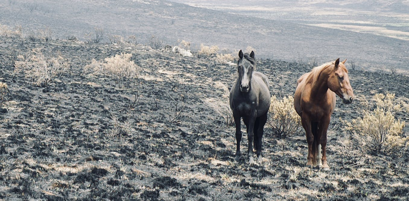 Fire almost wiped out rare species in the Australian Alps. Feral horses are finishing the job