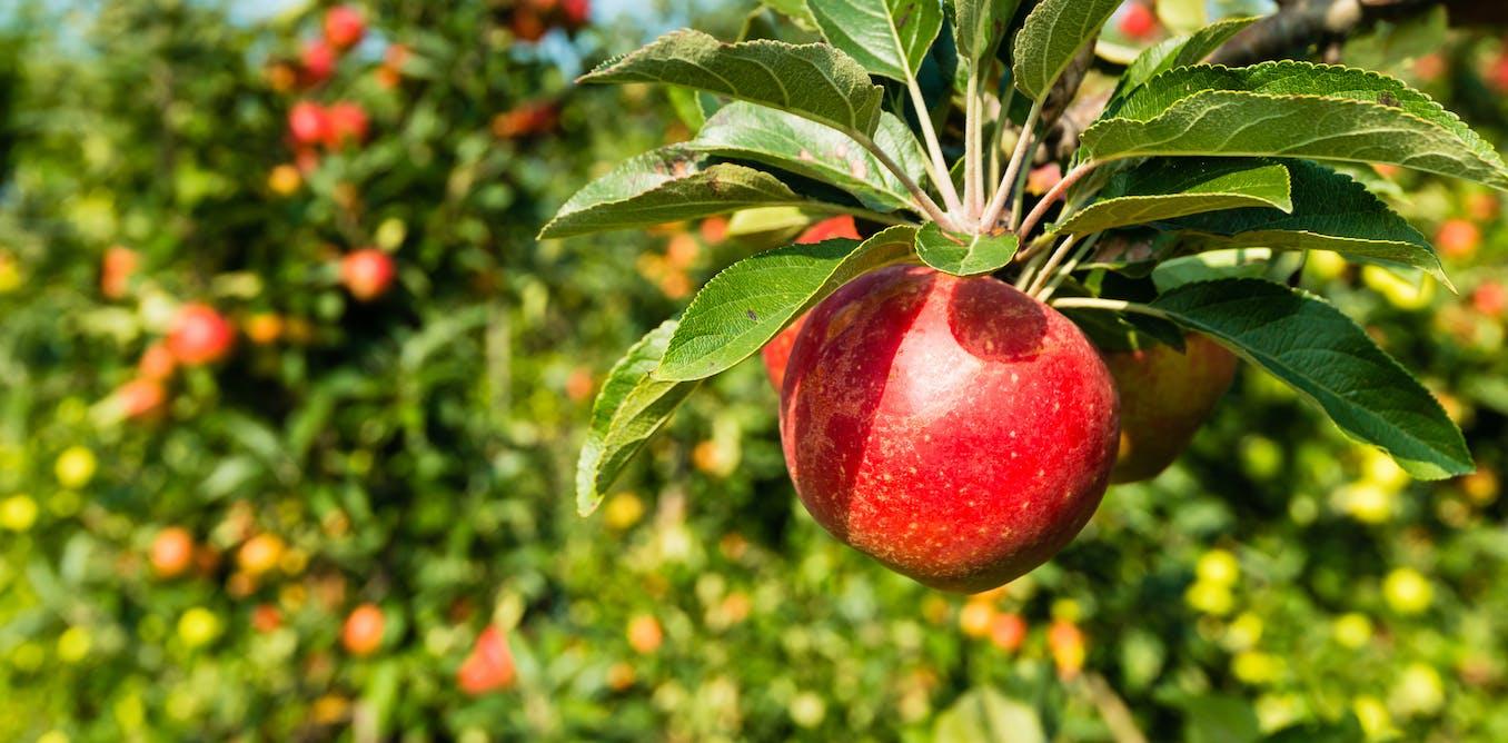 IA contar manzanas