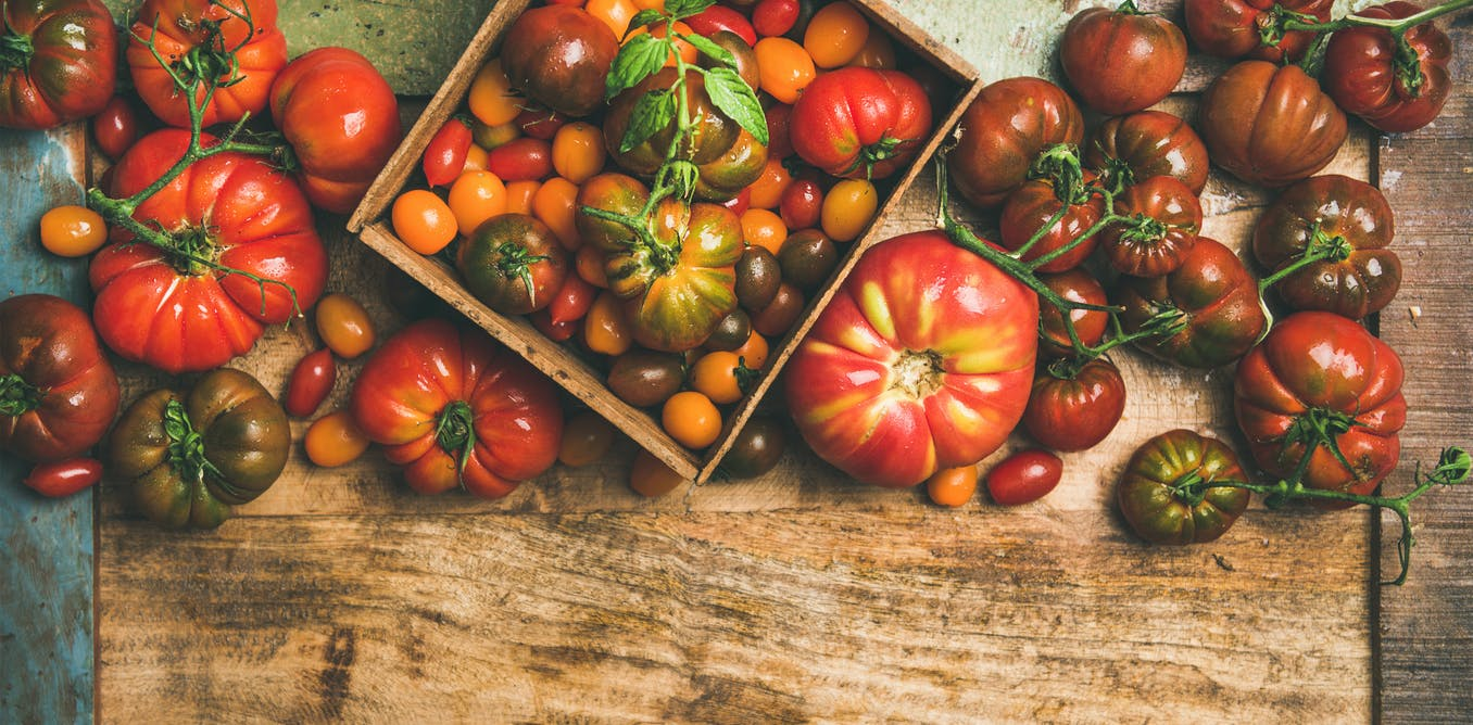Modern tomatoes are very different from their wild ancestors – and we found missing links in their evolution