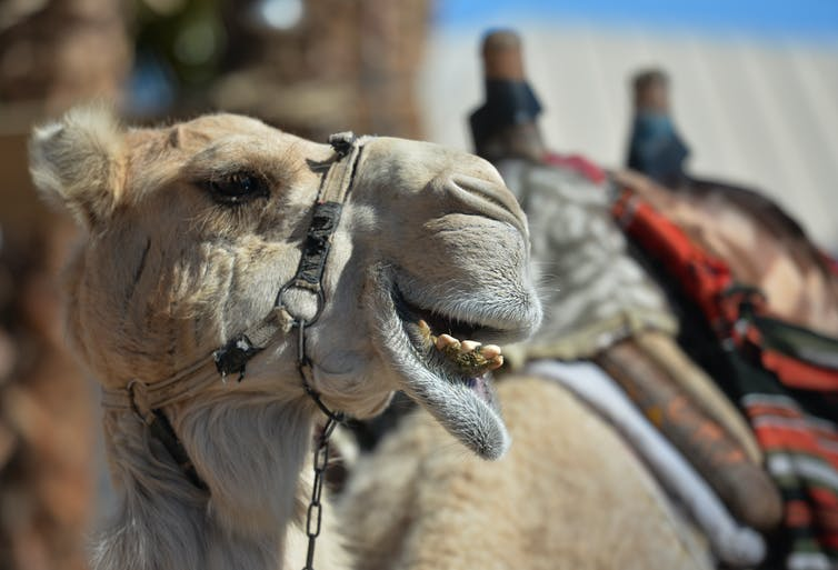 A camel at the entrance to the Underwater Observatory Marine Park aquarium in the Israeli resort city of Eilat on Feb. 1, 2020
