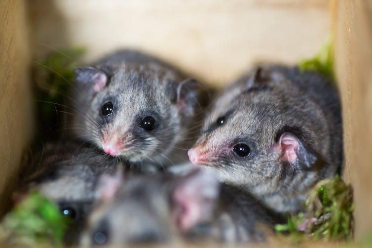 Bogong Bikkies help mountain pygmy-possums after fire