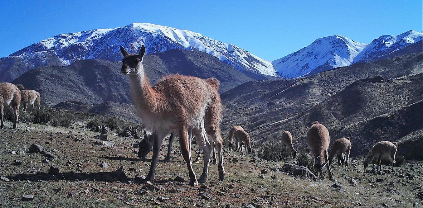Climate crisis is turning Chile's livestock ranchers against wild herbivores