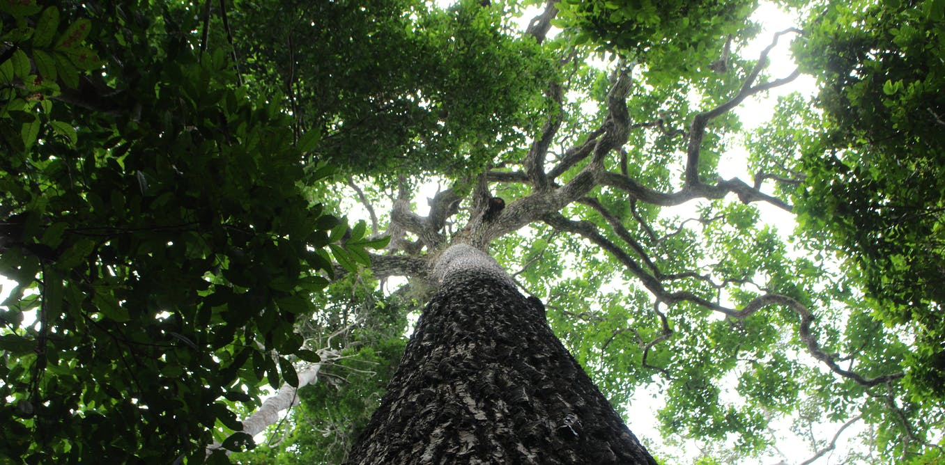 Amazon trees write autobiographies – preserving human history in their wood