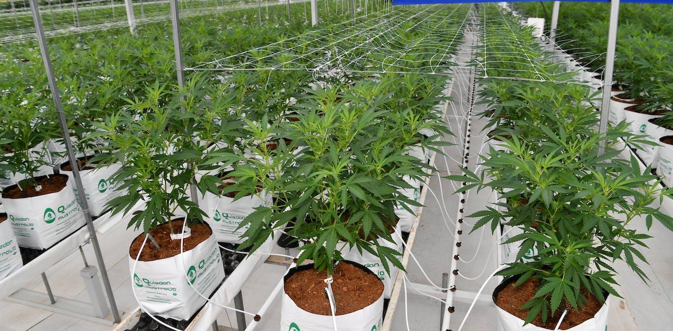 Sejauh mana legalisasi ganja bisa bermanfaat?