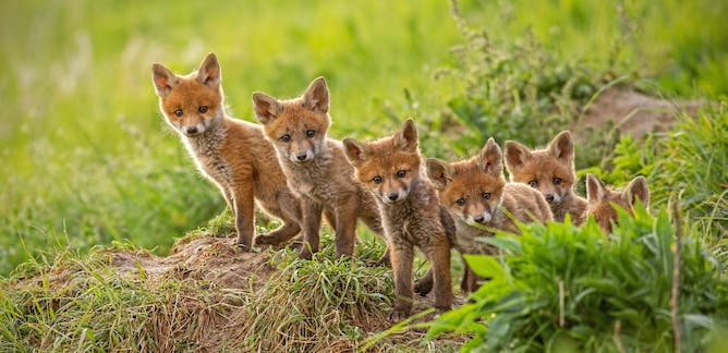 Foxes – News, Research and Analysis – The Conversation – page 1