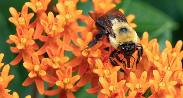 A bumble bee feeding on an orange milkweed flower. tlindsayg/Shutterstock.com