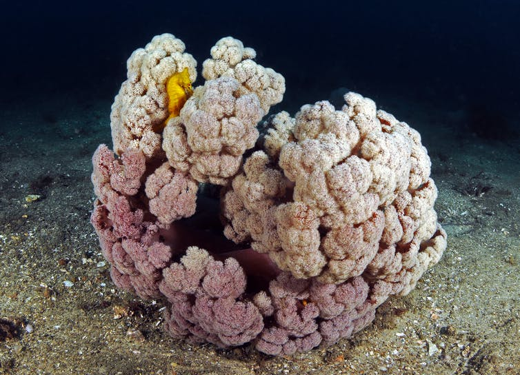 White's seahorse hiding in their natural soft coral cauliflower habitat. Author provided