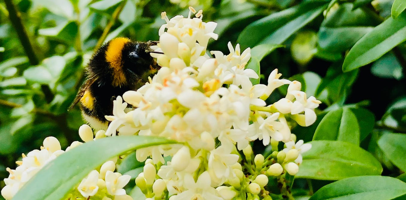 Bumblebees in crisis: insect's inner lives reveal what the world would lose if they disappear