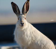 White jackrabbit