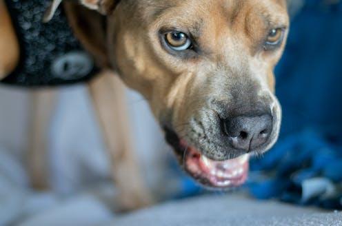 Close-up of snarling pitbull